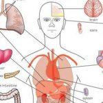 Phân tích vai trò của lục phũ ngũ tạng theo quan niệm đông y