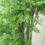 Bài thuốc hay Chữa bệnh mất ngủ bằng cây đinh lăng