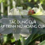 Những lưu ý khi dùng cây Trinh Nữ Hoàng Cung